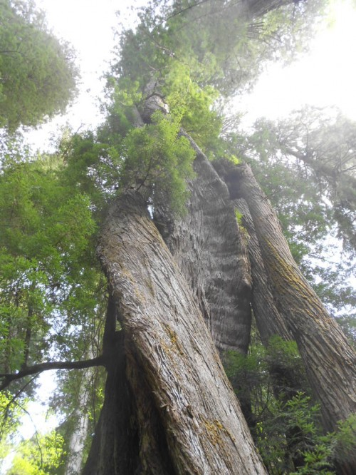 Corkscrew redwood tree