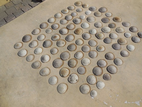 sand dollars drying in the sun