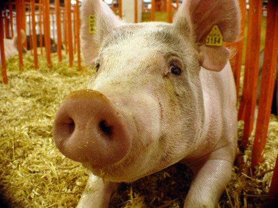 A pig virus may lead to record pork prices this winter