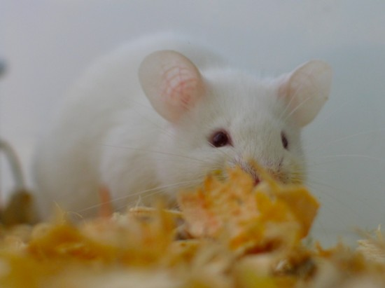 Implants help blind mice may help humans