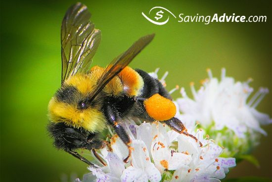 Rusty Patched Bumblebee Becomes the First Bee on the
