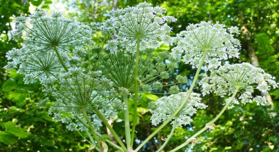 about giant hogweed